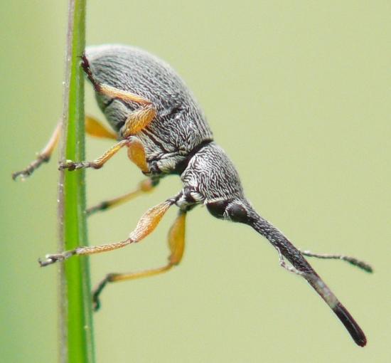 Apionidae-Rhopalapion longirostre