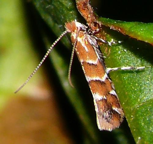 Cameraria orhidella