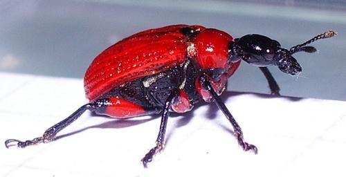 Lilioceris sp.